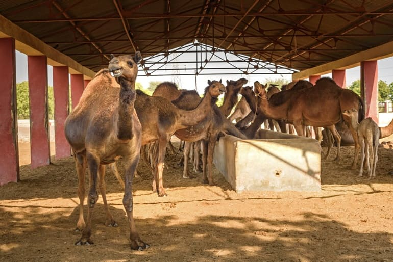 Best Time To Visit National Camel Research Center In Hindi